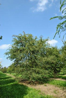 Ulmus Parvifolia 2
