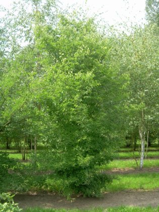Zelkova Carpinfolia H400-450