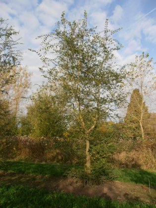 Zelkova Carpinifolia 1-1