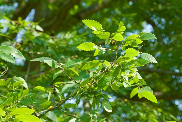 Zelkova Carpinifolia 1