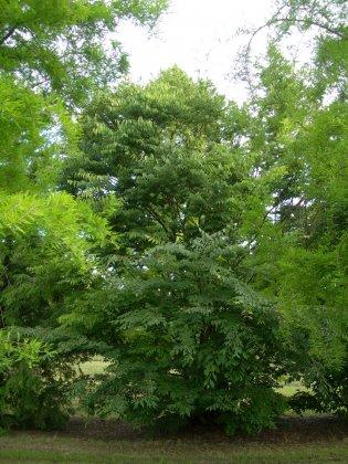 Zelkova Carpinifolia 2