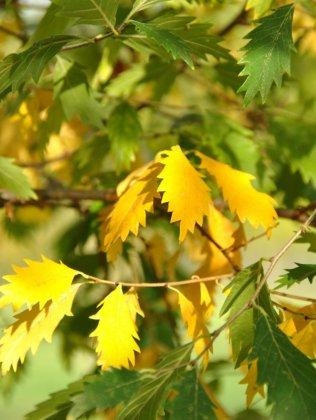 Zelkova-carpinifolia-verschaffeltii
