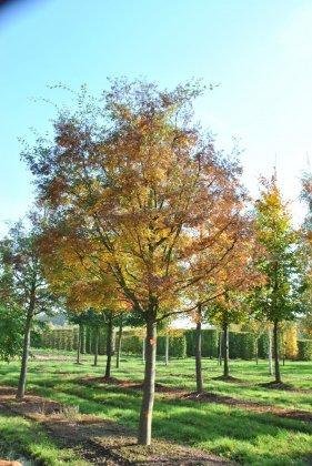 Zelkova Carpinifolia Verschaffeltii