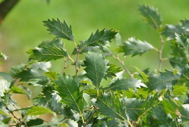 Zelkova Carpinifolia Verschaffeltii 1-1