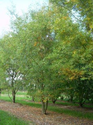 Zelkova Carpinifolia Verschaffeltii 1-2