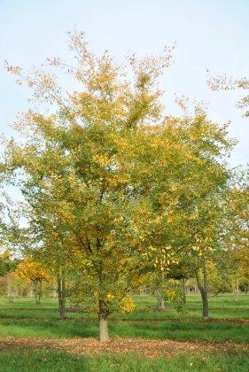 Zelkova Carpinifolia Verschaffeltii 1