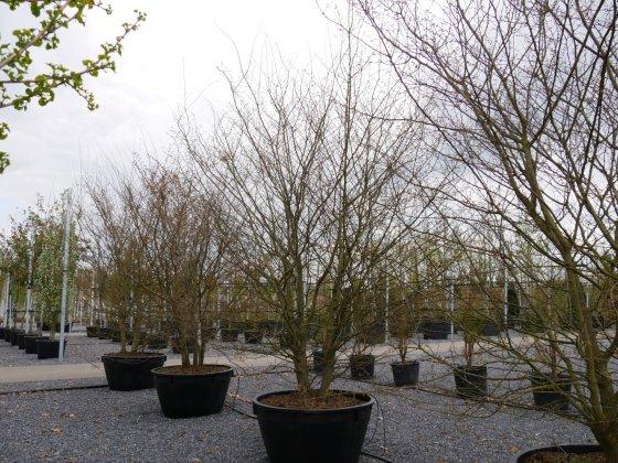Zelkova Carpinifolia Verschaffeltii 3