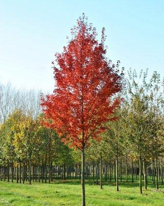 Medium Acer Rubrum Brandywine