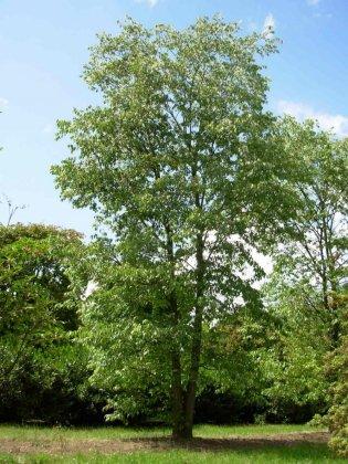 Meerstammige Bomen 11