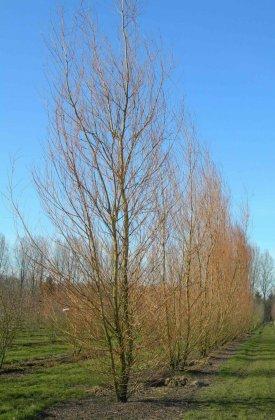 Meerstammige Bomen 13