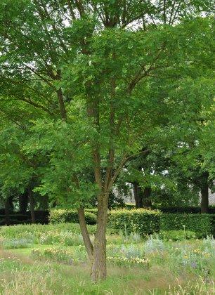 Meerstammige Bomen 15
