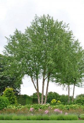 Meerstammige Bomen 16