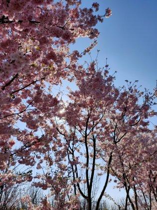 Sierkers-prunus-roze
