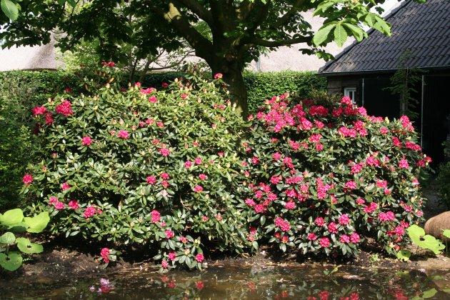 Privetuin-met-rhododendrons-1- 2