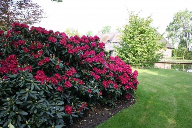 Privetuin-met-rhododendrons-1- 4