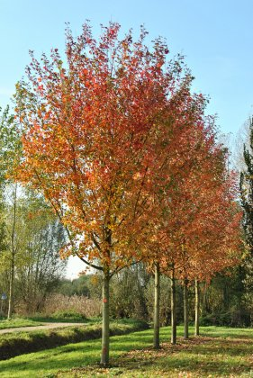 Acer Freemani Autumn Blaze 1