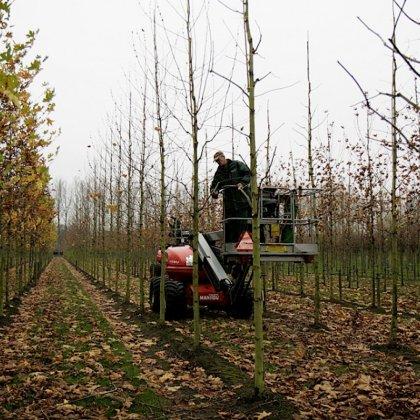 Small Pruning At Planting 1