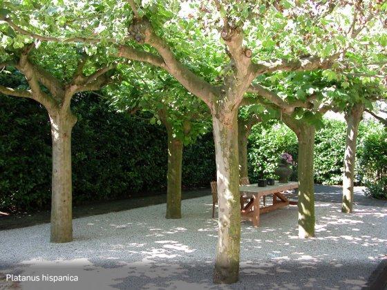 Bomen Voor Kleine Tuinen Platanus-hispanica2