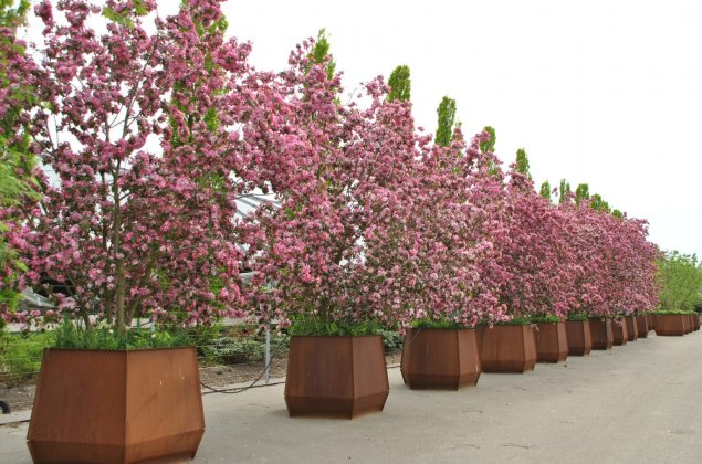Prunus in boombak