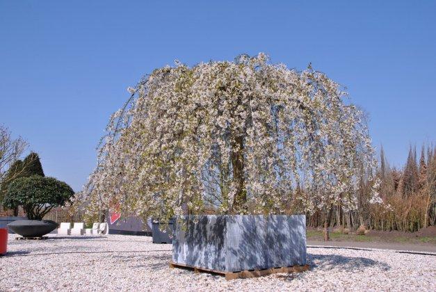 Prunus in grote boombak