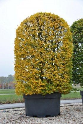 Gele boom in zwarte boombak