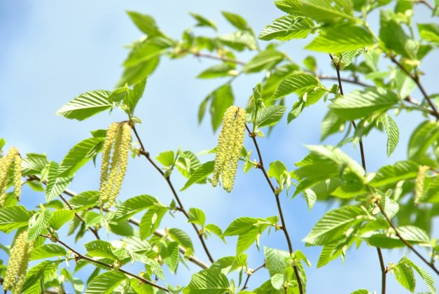 Ostrya Carpinifolia-s 5 Groot