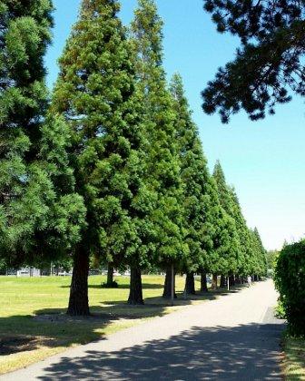 Medium Metasequoia Glyptostroboides