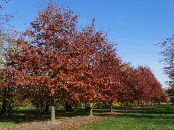 Quercus Palustris-241